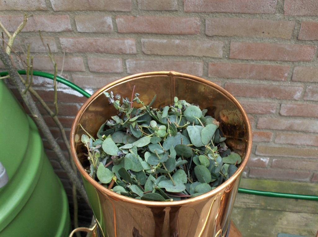 Het destilleren van Eucalyptus bladeren