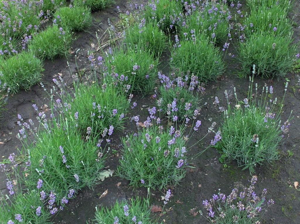 Lavendel plukken in Ulvenhout