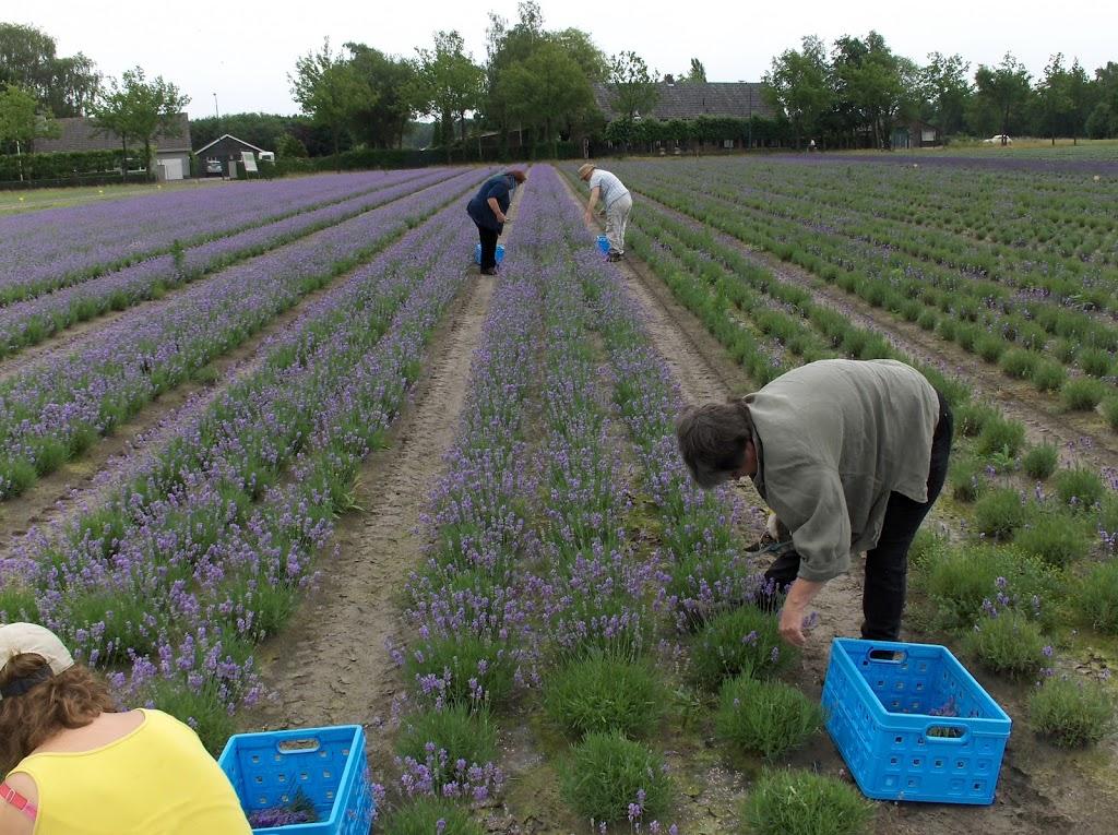 Analyse van Ulvenhoutse lavendelolie