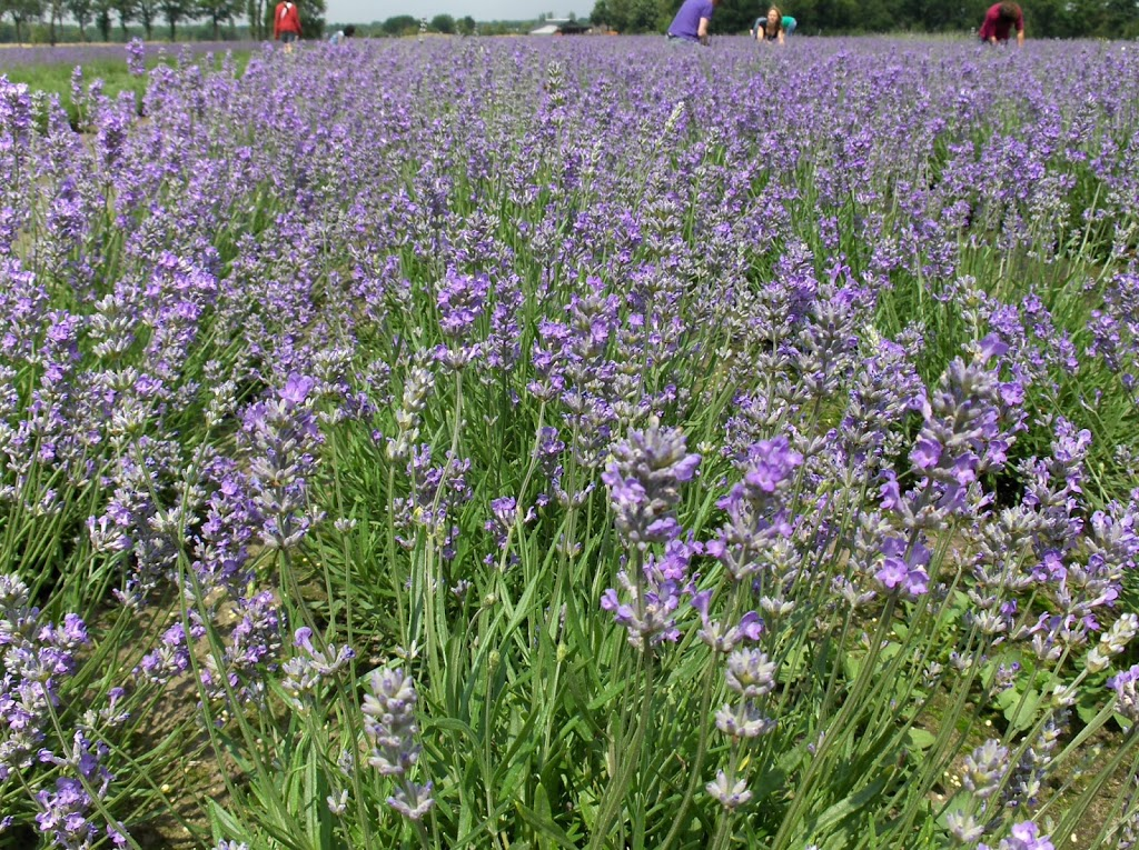 Chaamse lavendel: oogsten en destilleren tot lavendelolie