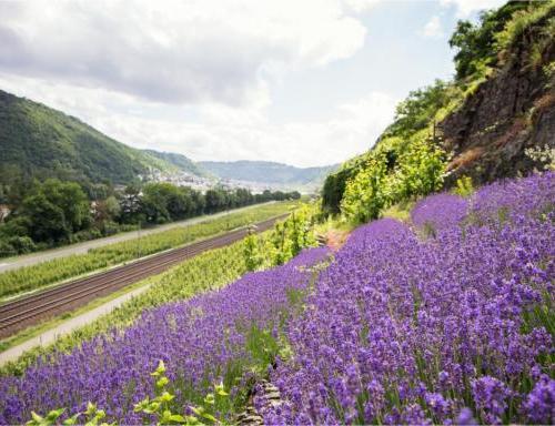 Lavendelteelt aan de Moezel