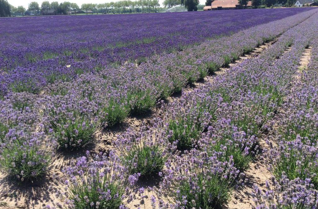 Op het Brabantse lavendelveld!