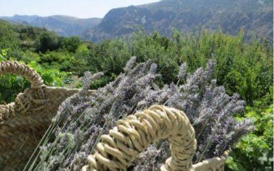 Lavendel stekken voor olieproductie in de Sierra Nevada