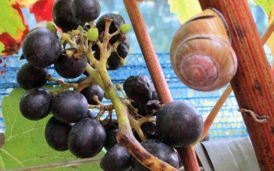 Chaamse wijn en de geest van Dassemus